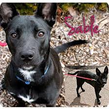 american pitbull terrier kennels in michigan sable adopted dog garden city mi german shepherd dog