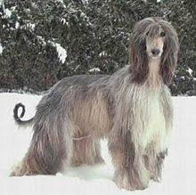 afghan hound breeders victoria afghan hound