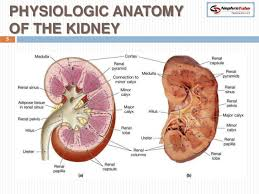 Human Physiology And Anatomy Pdf Human Anatomy Physiology Anatomy Of The Kidney Renal Physiology
