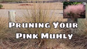 how to prune your pink muhly ornamental grass