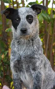 australian shepherd australian cattle dog mix riley the australian cattle dog jack russell terrier dogs