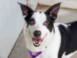 resume template customer service australian kelpie breeders north lucinda nickel fors north bay canine rescue placement