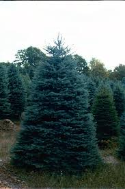 blue spruce trees blue spruce trees for sale