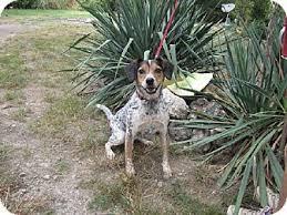 bluetick coonhound beagle die besten 25 bluetick beagle ideen auf pinterest bluetick