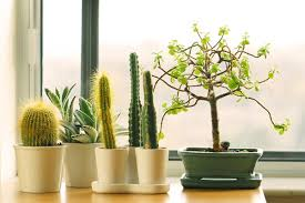 feng shui decorating with cactus plants plant our culture