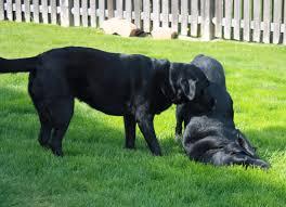 boxer dog fidget spinner basic skills u0026 knowledge for dog owners u2013 love laugh woof