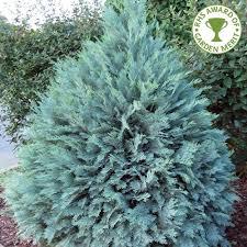 chamaecyparis lawsoniana pembury blue lawsons cypress blue conifer