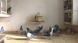 cuisine des pigeons voyageurs golden prince un pigeon belge vendu pour un montant record de