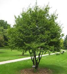 trees and shrubs for michigan landscape r a landscaping