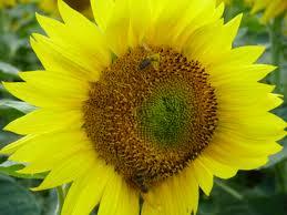 free images nature petal bloom summer pollen pollination