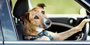 Dog Driving Meme - 100 words or less on puppies driving cars robot butt