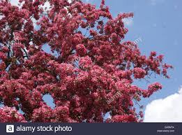 malus floribunda ornamental crabapple stock photo royalty free