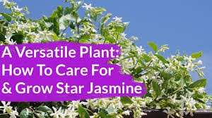 a very versatile plant star jasmine care u0026 growing tips youtube