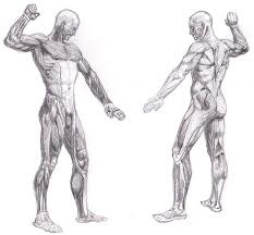 full body muscle system by rrog on deviantart