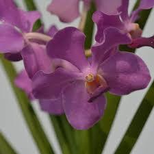 Blue Orchid Flower Vanda Vanthuil Blue Blooming Am Thai Orchids Shop