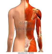 Neck Cross Sectional Anatomy Female Neck Shoulder Muscles Anatomy Stock Photos U0026 Female Neck