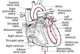 anatomy lecture notes unit 7 circulatory system the heart