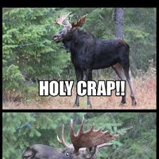 Moose Meme - one of our moose got tangled in our christmas lights today by