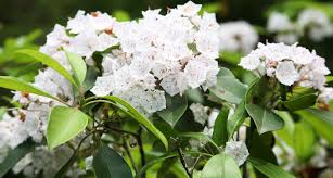 native plants of pa pennsylvania state flower the mountain laurel proflowers blog
