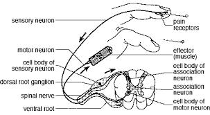 Knee Reflex Arc Reflexes
