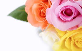 flowers roses soex flora international flower growers exporters