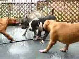 american pitbull terrier info american pit bull terrier youtube