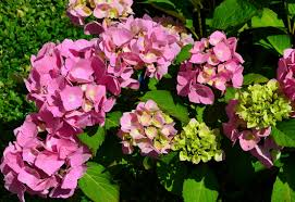 hydrangeas flowers free images blossom petal bloom botany flora flowers