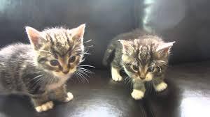 twin grey tabi kittens cute as a button youtube