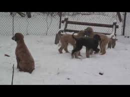 afghan hound 9 months afghan hound puppies in the snow four months old youtube