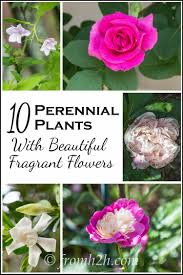 Fragrant Plants List - 10 perennial plants with beautiful fragrant flowers perennials