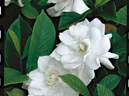 Most Fragrant Plants Gardenias A Fragrance That Captivates Southern Living