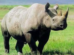 gafunkyfarmhouse this n that thursdays animal themed gafunkyfarmhouse picture parade rhino décor