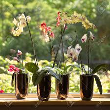 window sill and plant pots with moth orchids or phalaenopsis