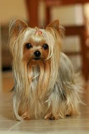 stunning yorkie hair cuts 20 best yorkshire terrier images on pinterest doggies yorkie