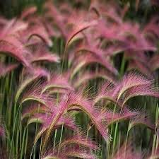 best 25 foxtail grass ideas on barley seeds foxtail