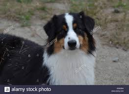 images of australian shepherd australian shepherd puppy stock photos u0026 australian shepherd puppy