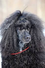 poodles long hair in winter portrait of a black poodle royal winter stock photo picture and