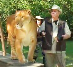 South Carolina wildlife tours images Liger at myrtle beach safari south carolina usa liger zoos jpg
