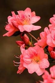 era nurseries buy trees online wholesale australian native 20 best astounding azaleas images on pinterest azalea shrub
