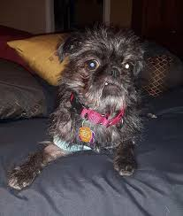 affenpinscher for adoption available for adoption meet twitch a ottawa dog rescue