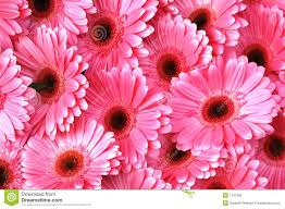 bright pink gerbera daisies royalty free stock photo image 1107505