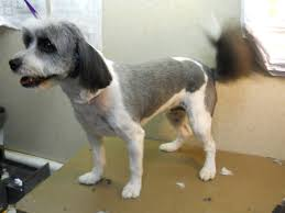 hair cuts for the tebelan terrier tibetan terrier groom page naju the fun place for your pets