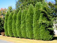 Backyard Privacy Trees Best 25 Privacy Trees Ideas On Pinterest Privacy Landscaping