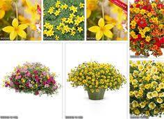 Fragrant Container Plants - fragrant gloxinia sinningia tubiflora a multiplying tuberous