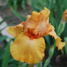 cinderella s coach bearded iris iris cinderella s coach in the irises