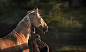 Horse With American Flag Most Popular Gaited Horse Breeds