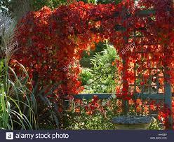 parthenocissus quinquefolia over trellis archway pergola virginian
