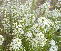 baby s breath flowers baby s breath flowers white free photo on pixabay
