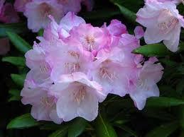 State Flower Of Montana - washington state flower coast rhododendron
