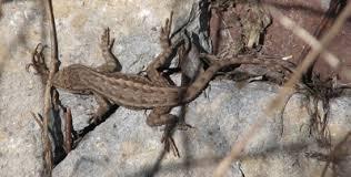 Backyard Reptiles Western Fence Lizards Davis Localwiki